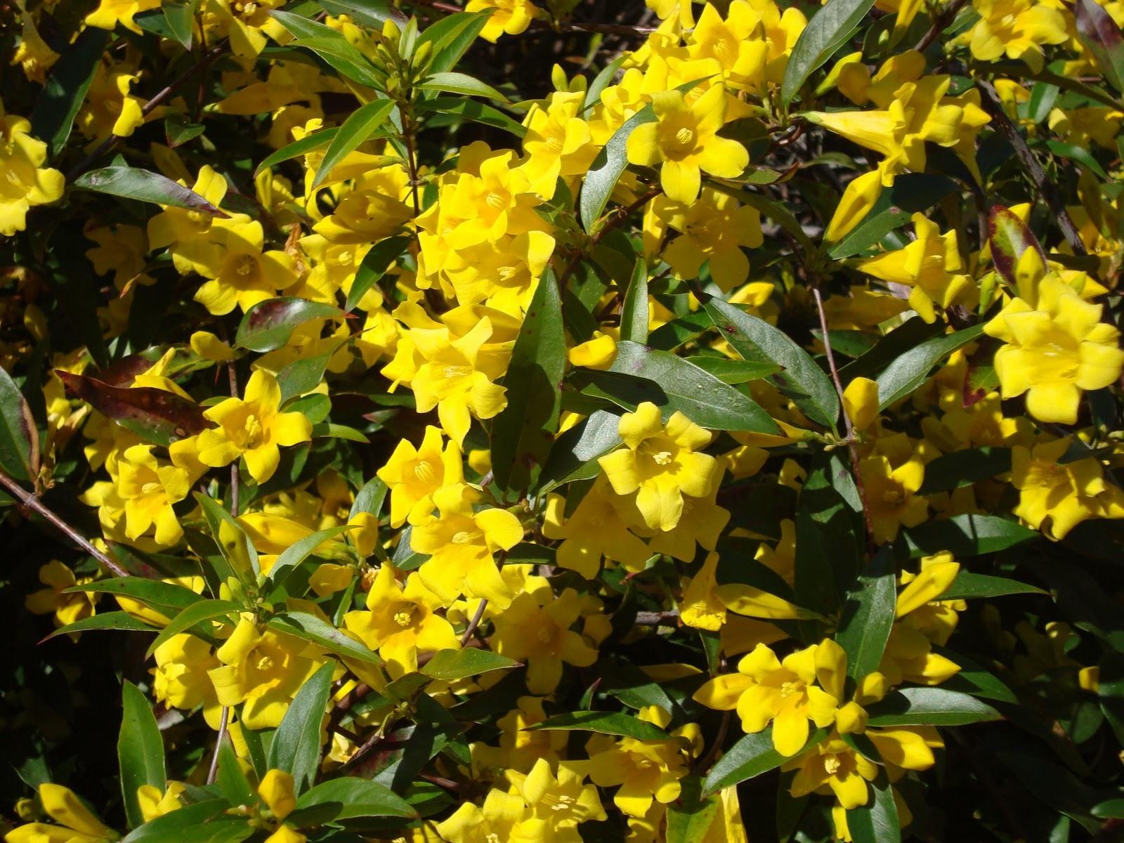 Carolina jessamine vine of the south heysmokies carolina jessamine vine of the south izmirmasajfo