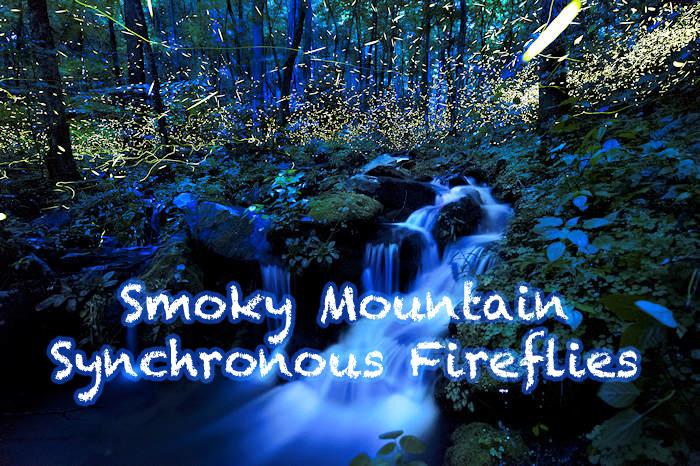 Smoky Mountain Synchronous Fireflies