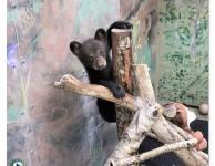 Appalachian Bear Rescue's Clementine Bear