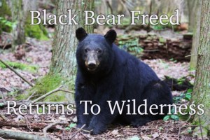 Freed black bear returns to Smoky Mountains.