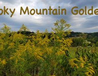 Smoky Mountain Goldenrod adds to color to late summer and fall!