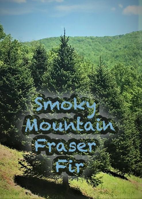 Smoky Mountain Fraser fir trees are Americas Favorite Christmas Tree!