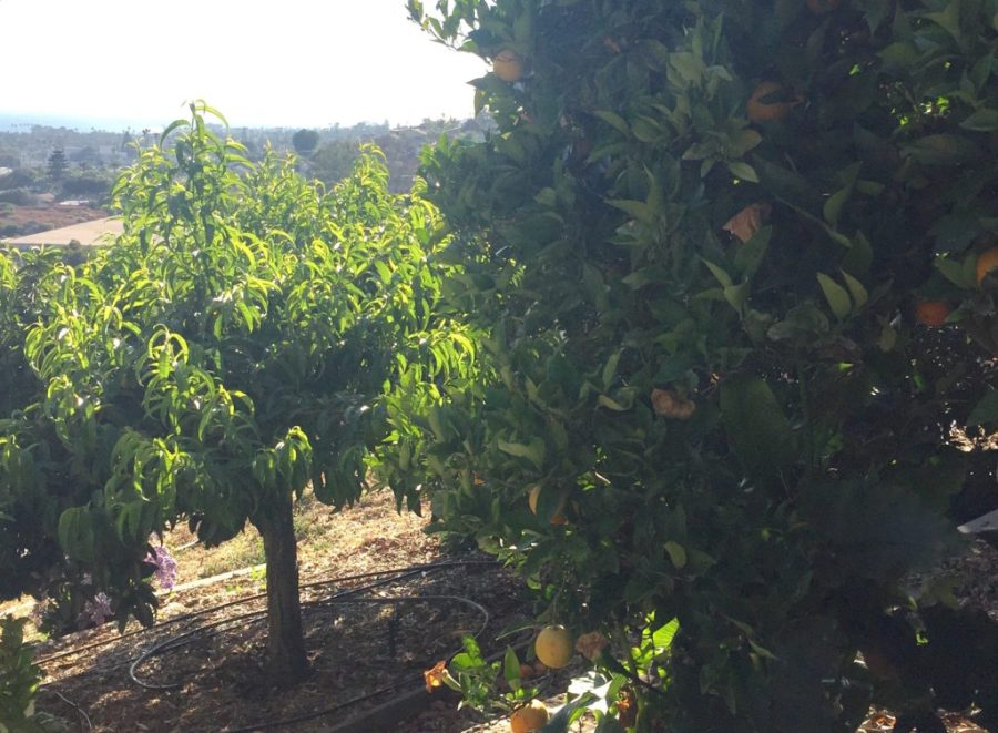Valencia orange trees, Ventura, CA