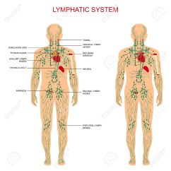 Where Are My Lymph Nodes Diagram Opel Astra F Wiring The Lymphatic System Is Most Crucial In Your Body