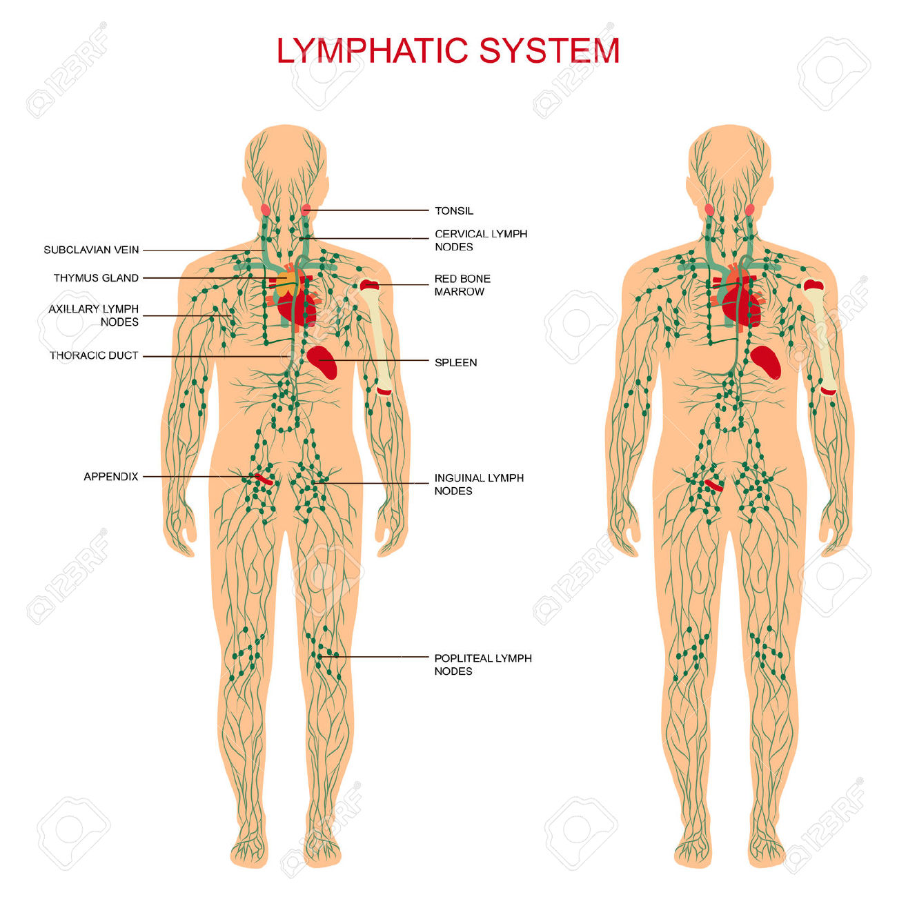 where are my lymph nodes diagram pioneer deh 1300mp wiring 2 the lymphatic system is most crucial in your body