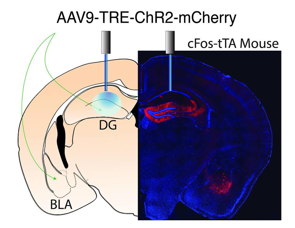 brain diagram inside 3 pin flasher unit wiring changing the emotional association of memories | hhmi.org