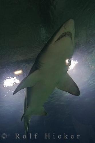 Picture of Sand Tiger Shark