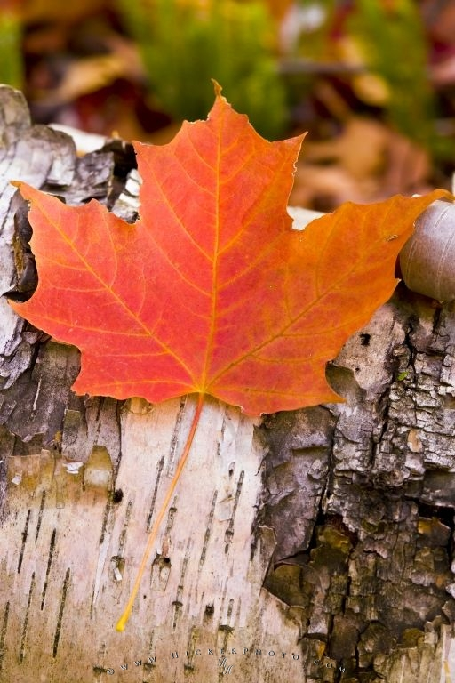 Fall Leaves Road Wallpaper Red Maple Leaf Canadian Symbol Photo Information