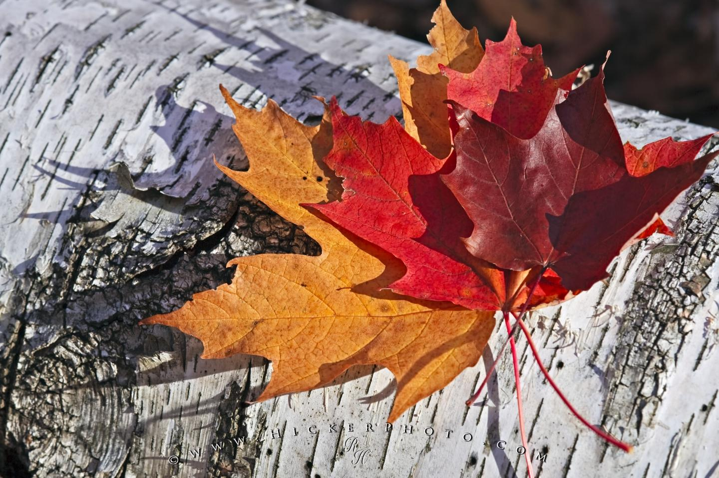 Maple Leaf Wallpaper For Fall Season Free Wallpaper Background Fall Colors Rock Lake Ontario