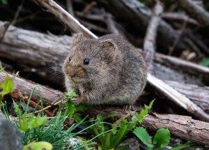 Pathogen Spread Through Supergene Rats