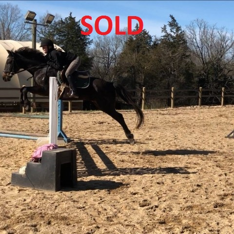 """Just In Time """"Justin"""" - a Horse for Sale in Winston-Salem"""