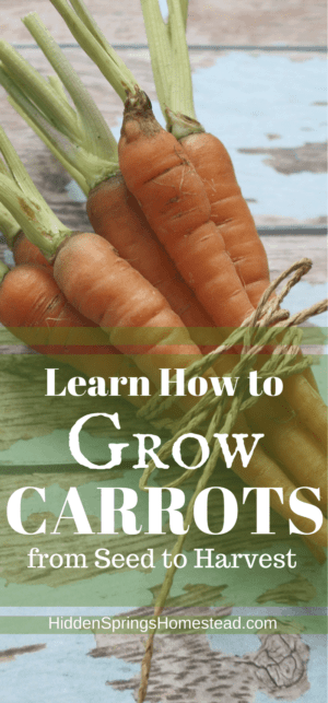 Grow Carrots from Seed to Harvest