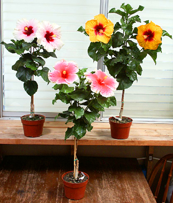Colourful hibiscus