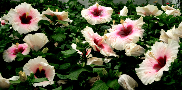 'High Voltage' Hibiscus Plants