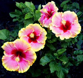 Hibiscus 'Simple Pleasures'