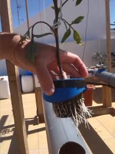 planta de tomate con las raíces expuestas