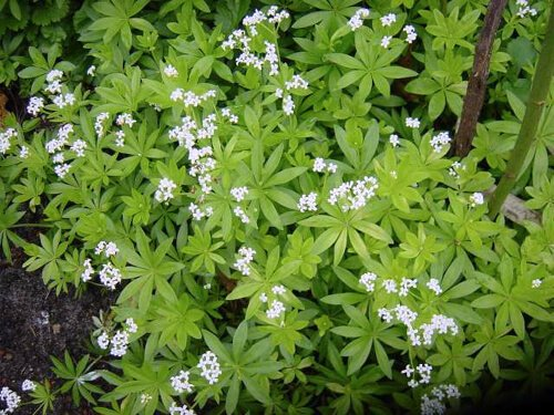 Image result for galium odoratum