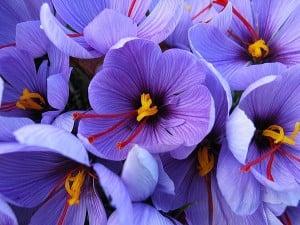 propiedades medicinales del azafrán