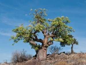 Árbol de Moringa