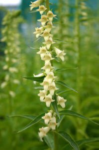 Digitalis amarilla