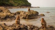 Het Apeneiland bij Pattaya (Koh Ling)