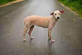 Straathonden van Thailand, lief of gevaarlijk?