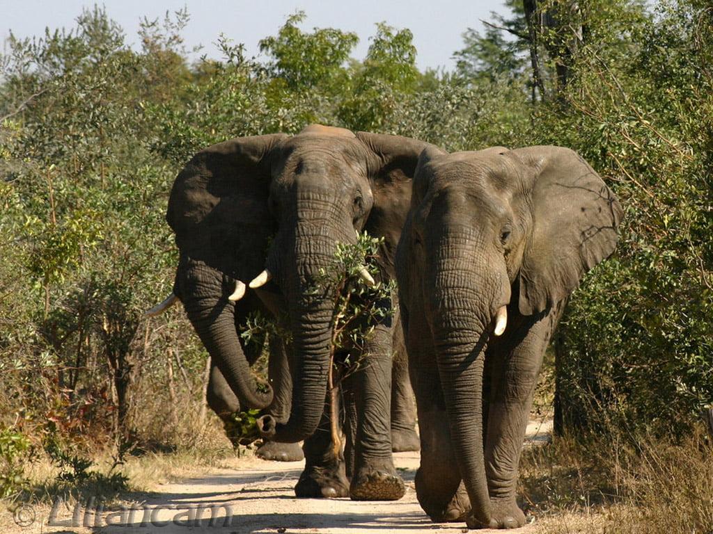 wilde olifant in Thailand