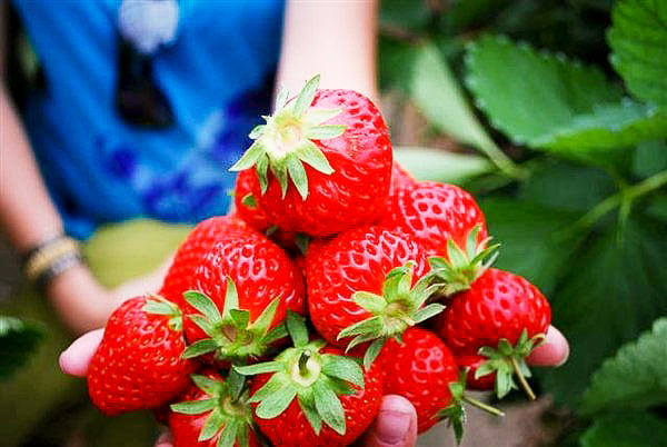 Aardbeien in Noord-Thailand