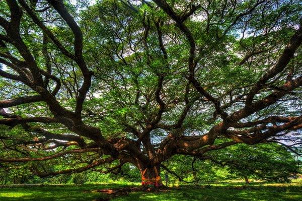 grootste boom van Thailand