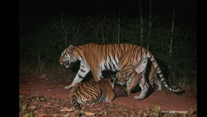 Wilde tijgers gezien in Thailand en Cambodja