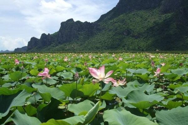 Lotus in Khao Sam Roi Yot bloeit weer