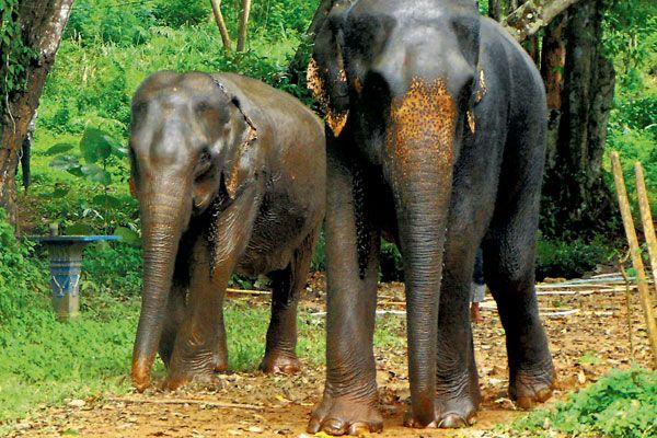 Steeds meer olifanten in Thailand slecht behandeld