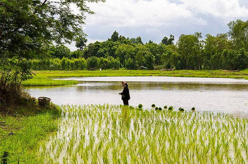 Rijst in Thailand
