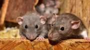 Steeds meer ratten in Bangkok