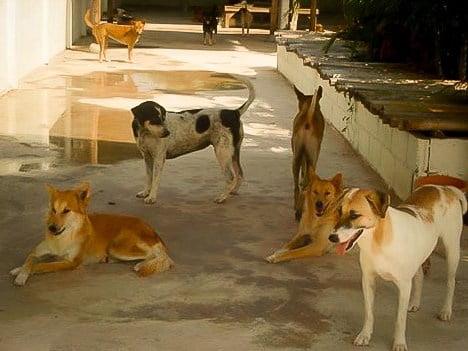 aangevallen door zwerfhonden in thailand