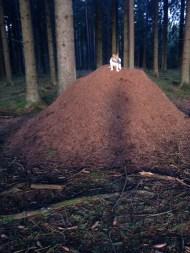 Tigge tränar intervall uppför myrstacken. En av Sveriges största??