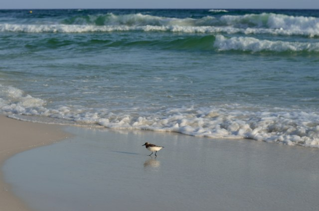 Sand Piper @ Panama City Beach, Florida