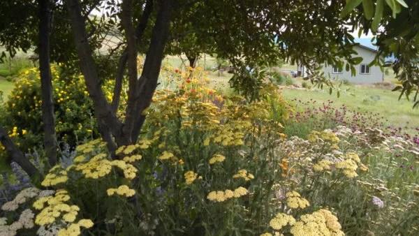 Beautiful yarrow garden.