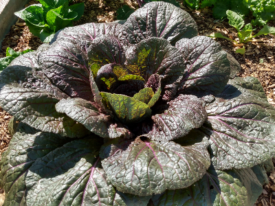 Red Dragon Chinese Cabbage