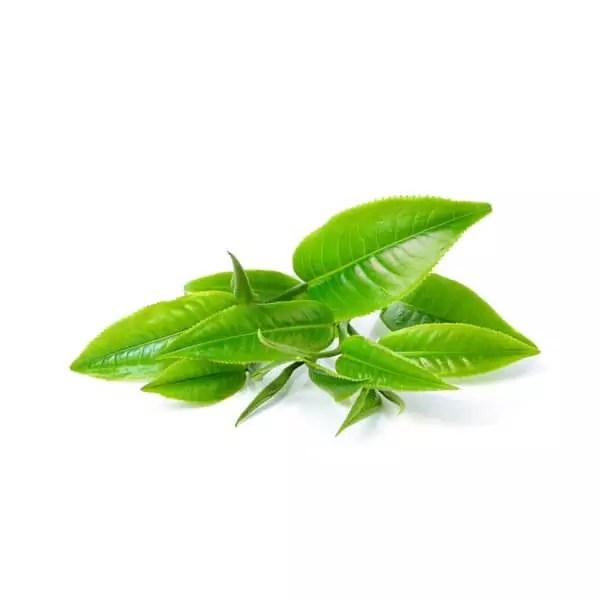 frische-gruene-teeblaetter-highdroxy-wirkstoff-gruener-tee