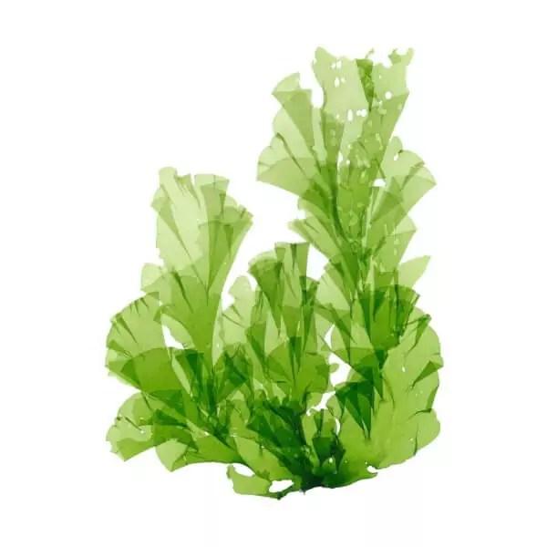 gruene-alge-vor-weißem-hintergrund-highdroxy-wirkstoff-wakame