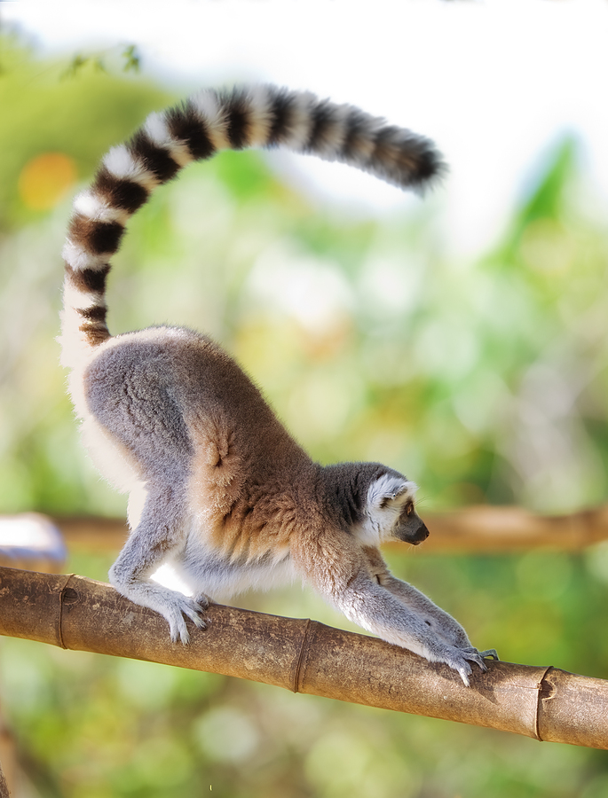 bigstock_Long_tailed_monkey_5925447