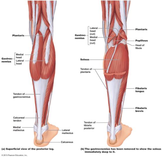 Calf Muscle Anatomy