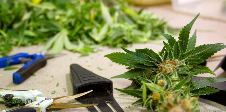 Marijuana trimming