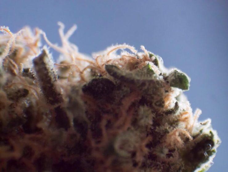 Weed bud