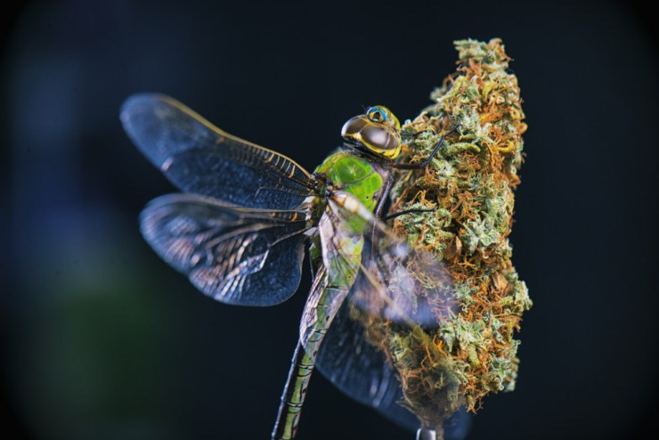 Initially, the use of terpenes in cannabis was meant for repulsion of pests and attraction of pollinators