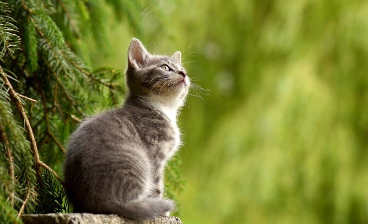 Do Cats Have Cannabinoid Receptors? Benefits and Risks.