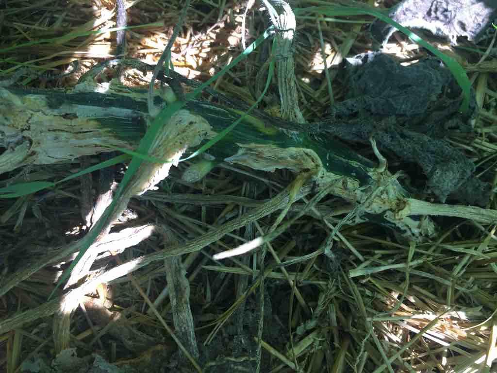 Squash Vine Borer damage