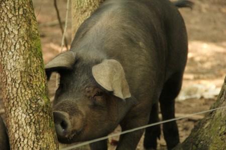 Heritage hog on woodland pasture