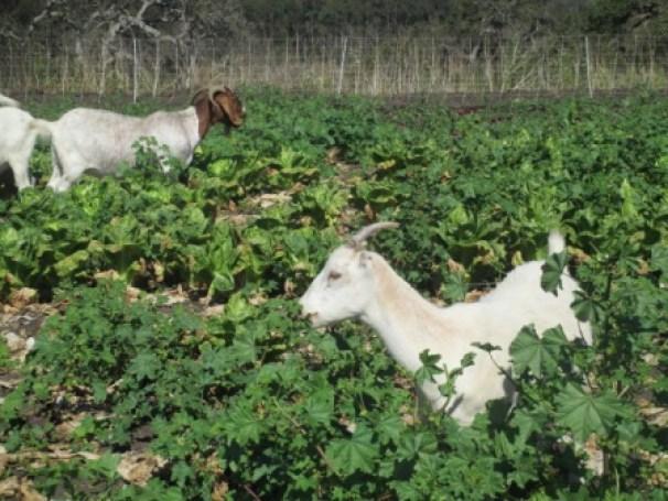 Goats in lettuce 4